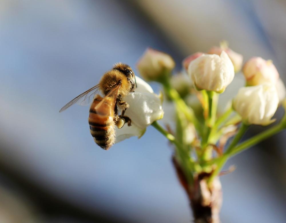 apimelis miel abeille ruche apiculture pollinisateur planète environnement biodiversité sauvegarde