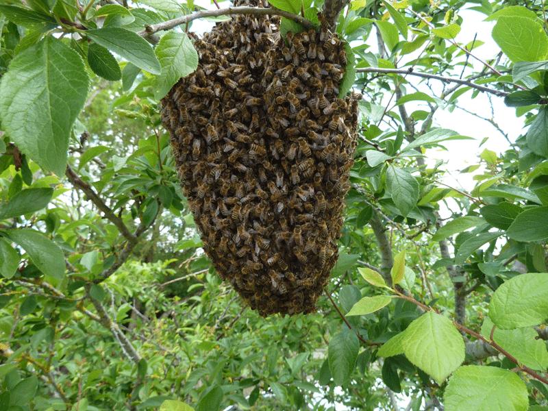 apimelis miel abeille ruche apiculture essaim colonie