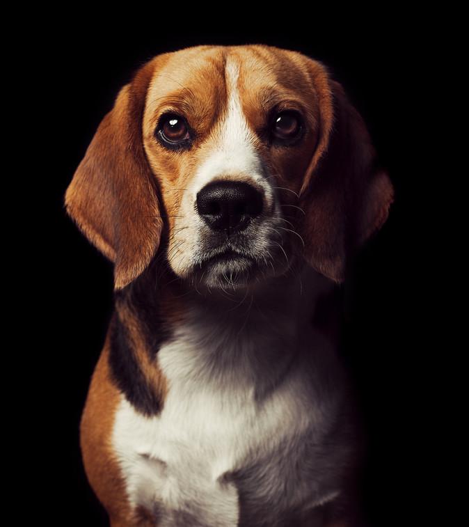 Putin the Beagle.jpg