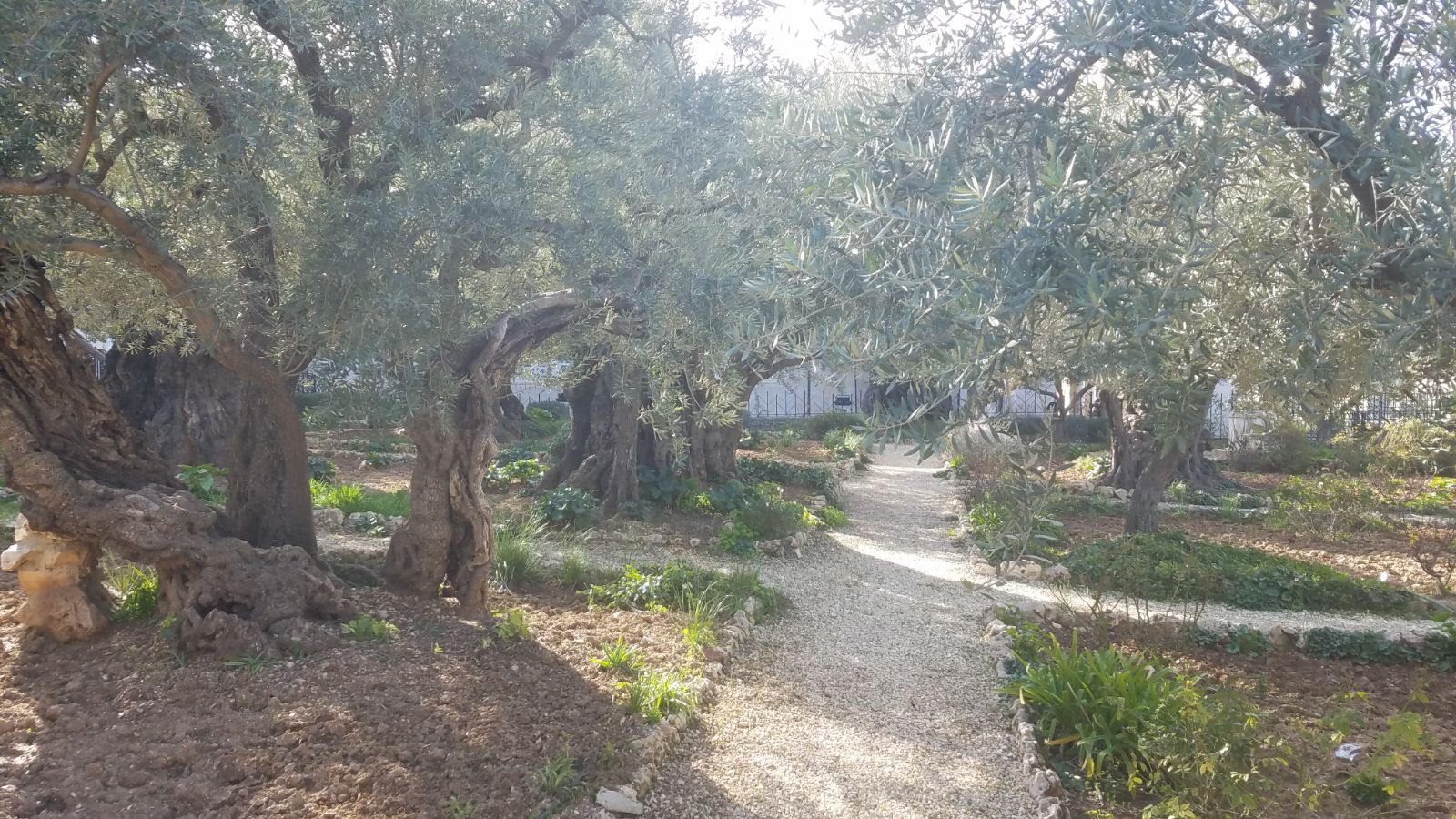 Olive trees in the Garden of Gethsemane-