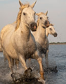 3 horses from Camargue.jpg