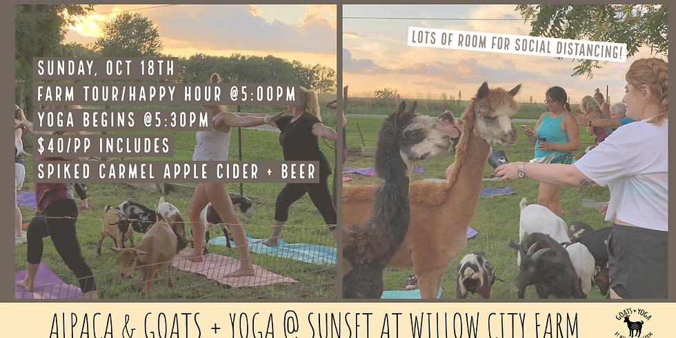 Alpacas + Yoga @ Sunset   - Willow City Farm, Pleasant Plains, IL (1)