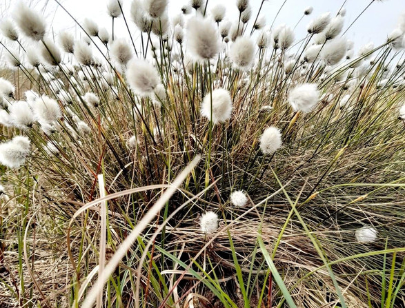 Bog cotton - 2