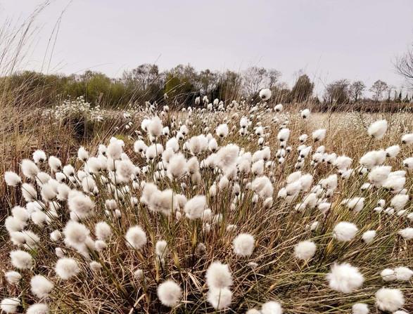 Bog cotton - 3
