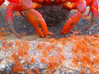 Record numbers of baby red crabs