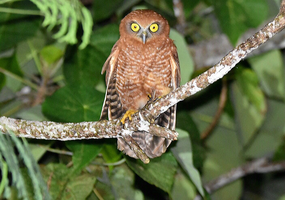 Christmas Island Hawk-owl