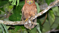 Homes for Hawk-owls: A community conservation project