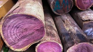 Самая подробная статья о пурпурном дереве амарант