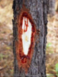 Спил, кровавое, кровоточащее, дерево, птерокарпус, pterocarpus, bloodwood, tree, древесина, сок, интересно, статья, реммани