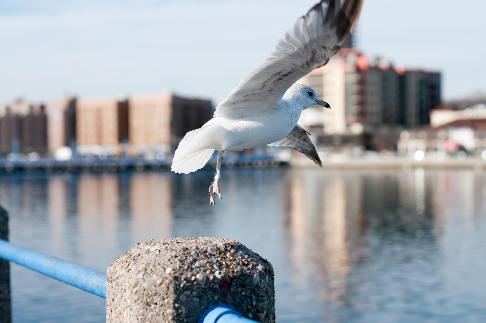 121916_Seagulls-3