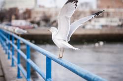 123016_seagulls-17