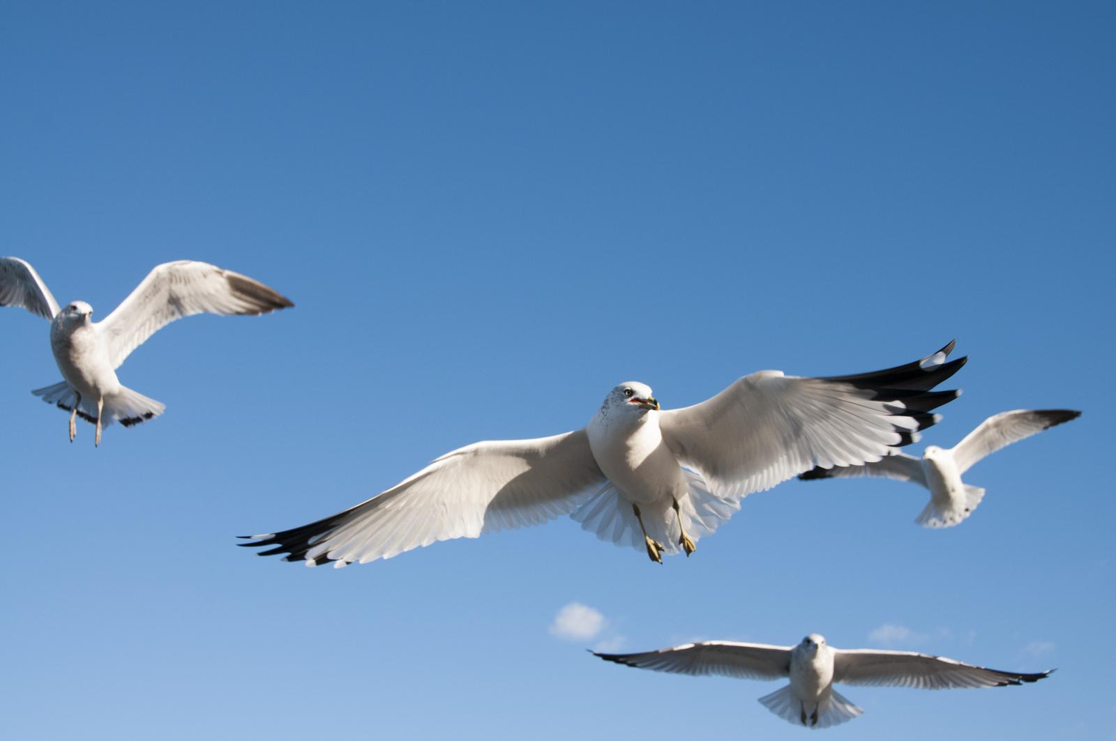 111414_seagulls-43