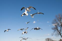 111414_seagulls-70