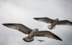 121916_Seagulls-26