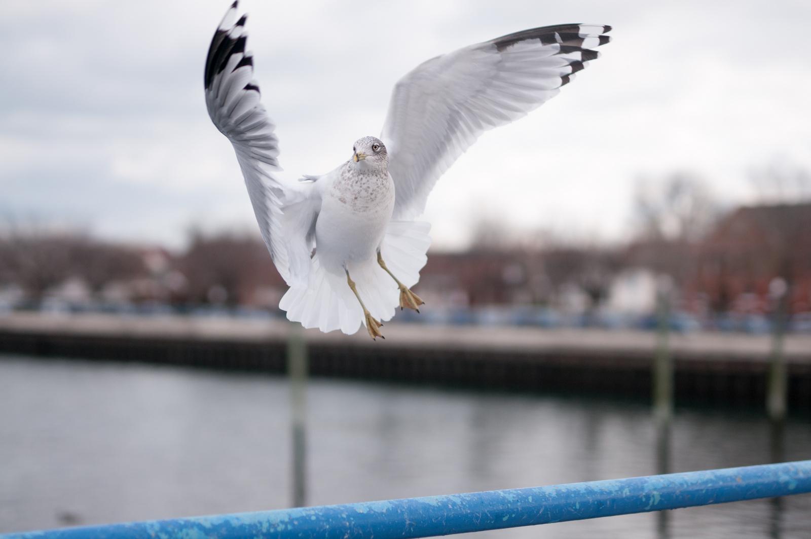 123016_seagulls-53
