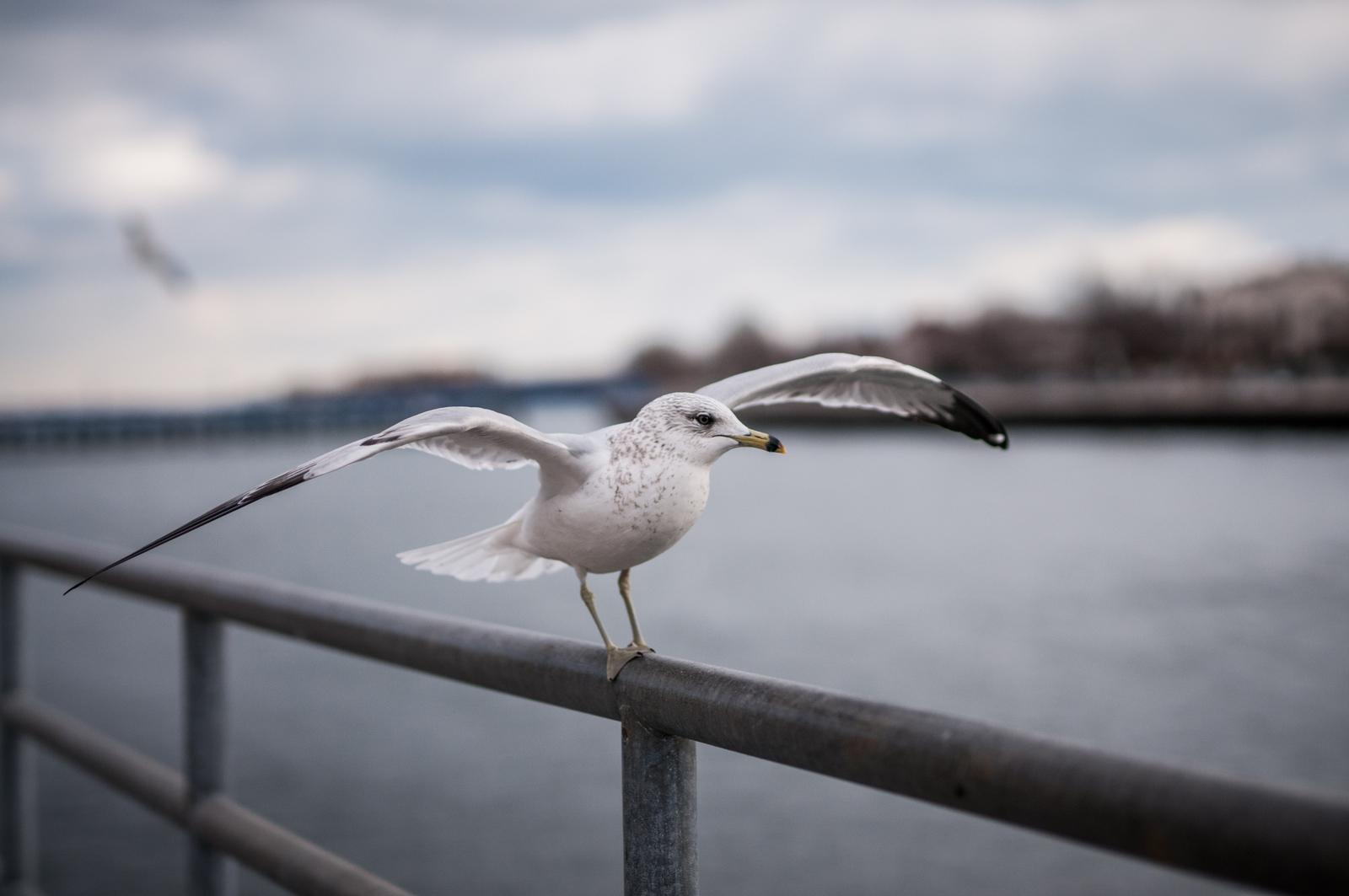 123016_seagulls-3