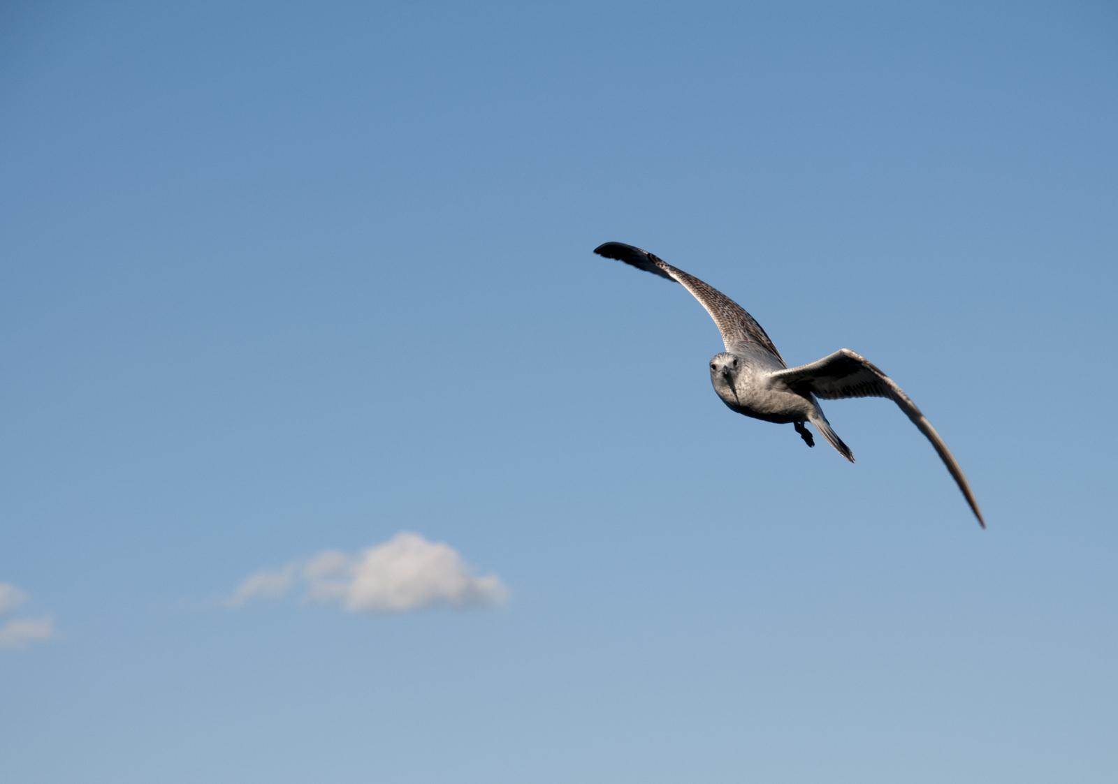 111414_seagulls-56