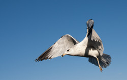 111414_seagulls-48