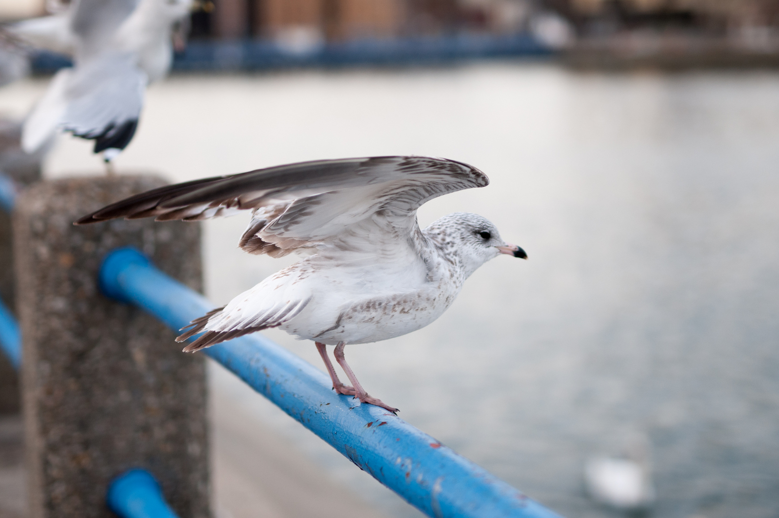 121916_Seagulls-56