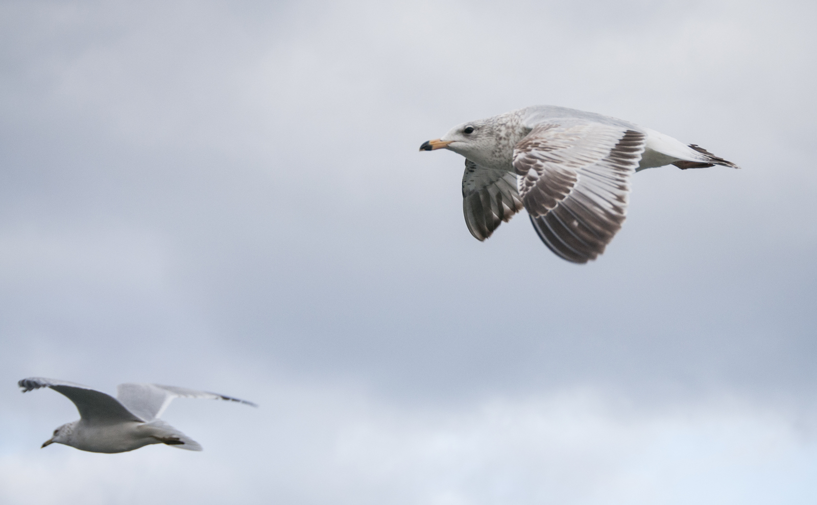 010116_seagulls-8