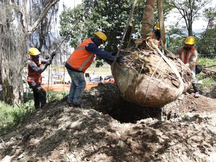 98 árboles serán protegidos y trasplantados como parte de las obras de valorización de El Poblado