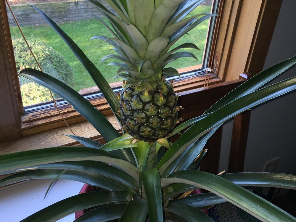 """Marty"" the Pineapple Plant"