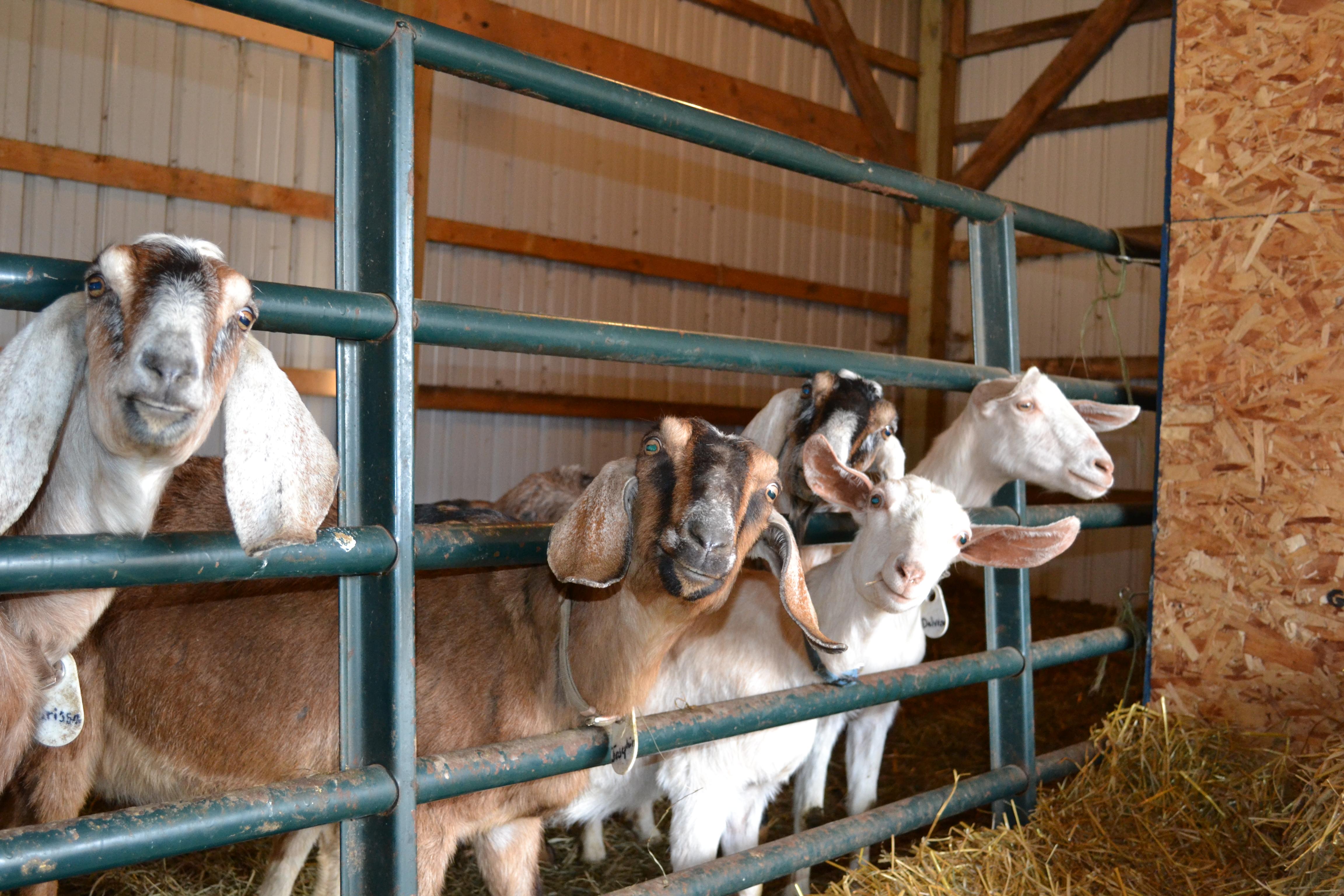 Curious Goats 2