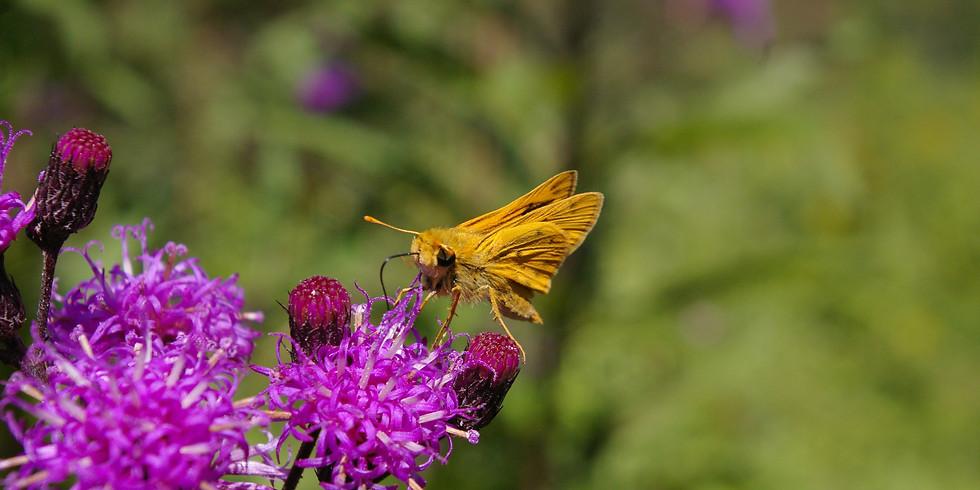 3:00 p.m. Pollinator Wildflowers - Ranger Phillip Hylen (9 participants maximum)