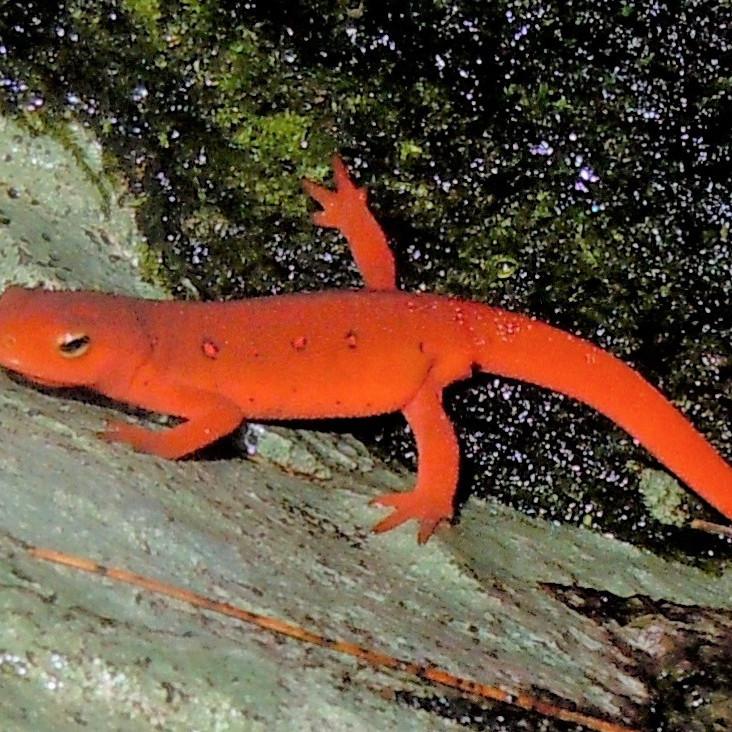 8:30 AM - Salamanders - Dale Ledford (9 participants maximum)