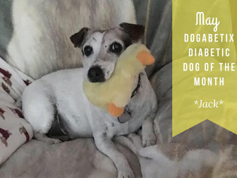 May DogaBetix Diabetic Dog of the Month...meet Jack!