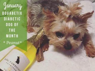 January DogaBetix Diabetic Dog of the Month...meet Peanut!