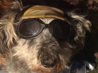 March DogaBetix Diabetic Dog of the Month - Meet Reggie!