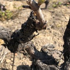 Bourgeon de vigne