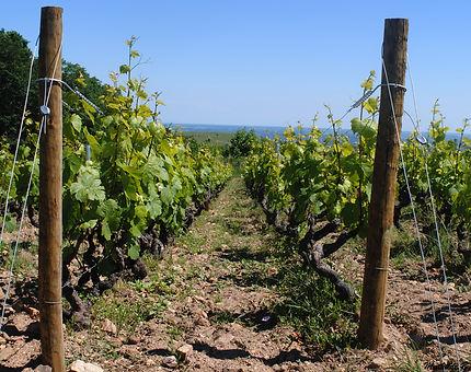 Vignes à Santenay