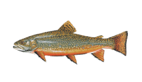 brook-trout.png