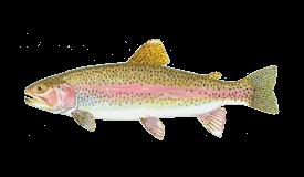 rainbow-trout-steelhead.png