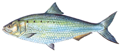 shad-transp.png