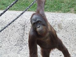 ZOO Dvůr Králové nad Labem - Šimpanzi live