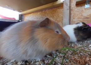 VR ZOO - Morčata (Guinea pigs)