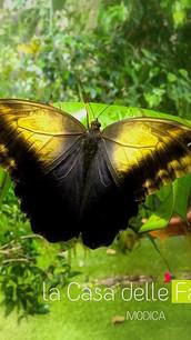 Quanto vive una farfalla_ _Venite a scop
