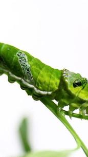 #caterpillar #green a #beautiful ❤️ INFO