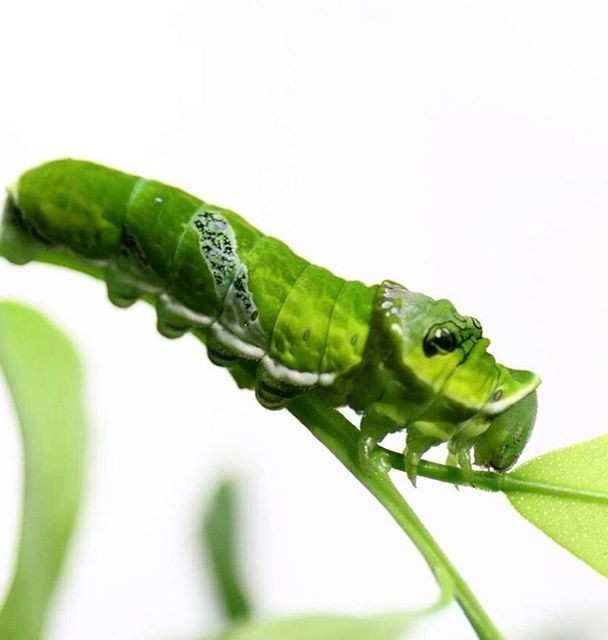 #caterpillar #green a #beautiful ❤️ INFO