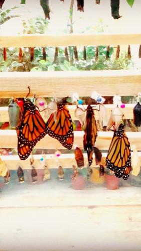 Vi presentiamo La monarca, Danaus plexip