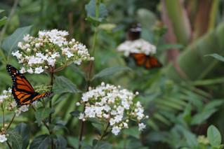 Grande successo per la Casa delle Farfalle, in esposizione anche collezioni dei Gattopardi