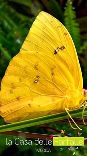 Farfalla Gialla 💛_Gioia mia 😍_#farfall