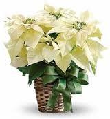 December - Flower is Poinsettia