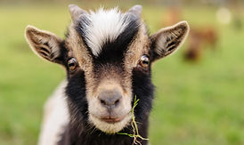 Close-up of a young Goat, with a leave o