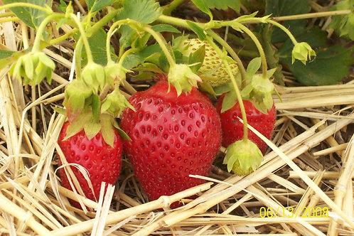 Strawberry - Rhubarb