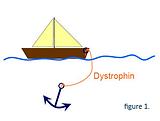dystrofine