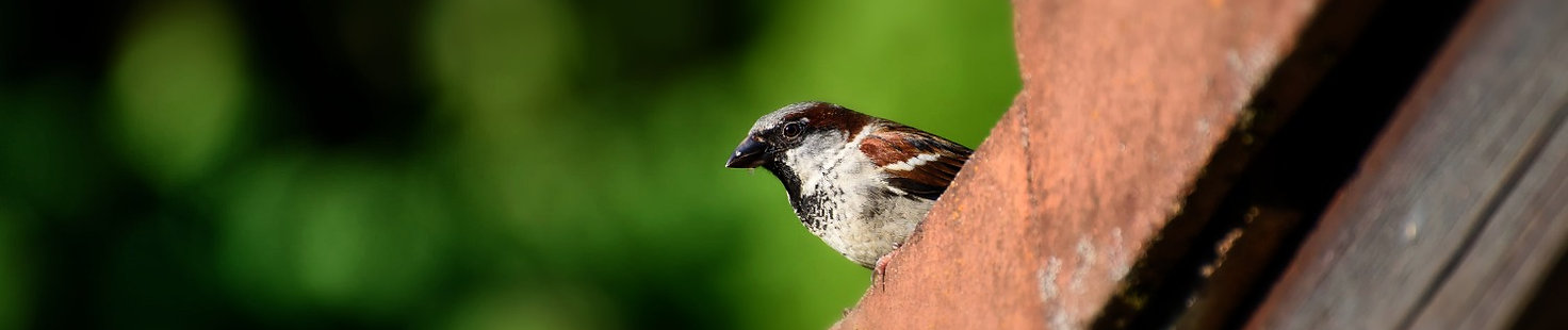 House sparrow building